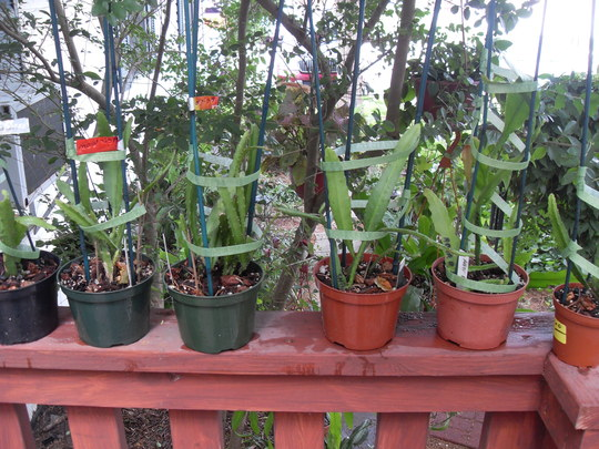 "/"" ALTER EGO /"" Don/'s Cuttings Epiphyllum,Orchid Cactus"
