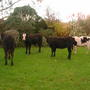 Cows_027