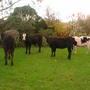 Cows_027