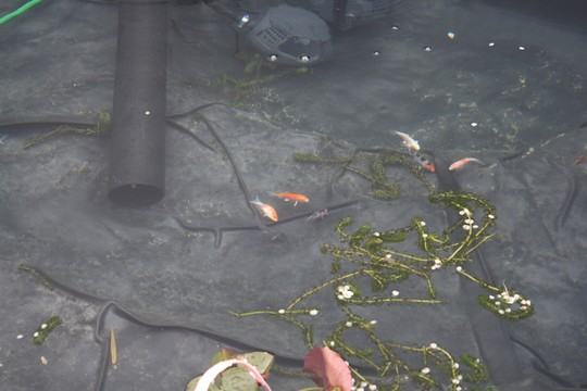 The garden pond build log grows on you for Koi in paddling pool