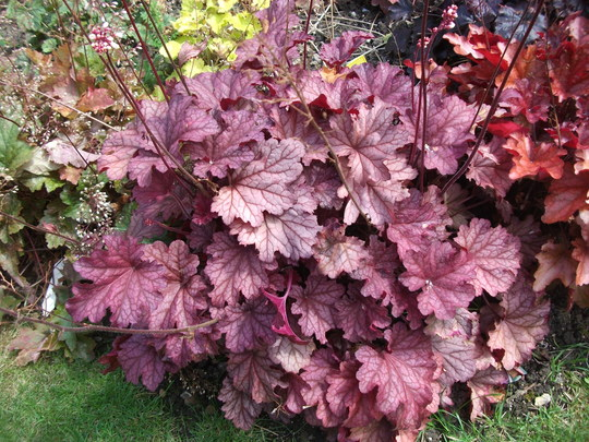 9 Heucheras And 1 Heucherella In My Garden Grows On You