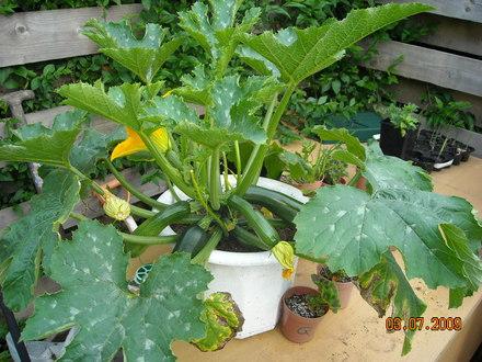 pot grown vegetables grows on you. Black Bedroom Furniture Sets. Home Design Ideas