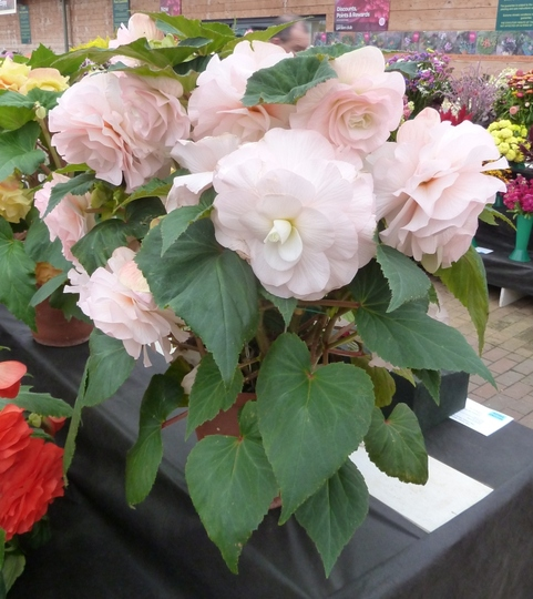 how to cut back begonias