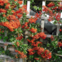 Untitledpyracantha