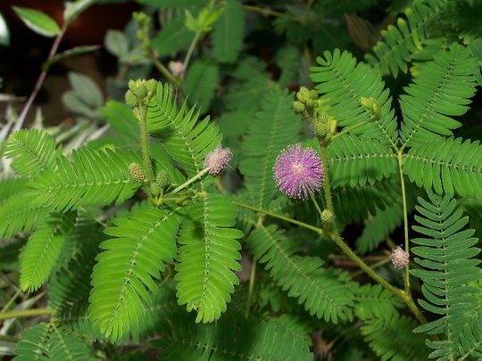 for sticki mimosa pudica or sensitive plant this is the plant we refer to as 39 mimosa. Black Bedroom Furniture Sets. Home Design Ideas