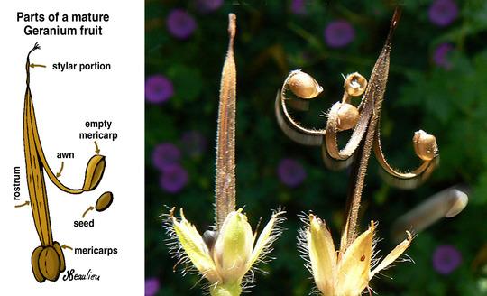 Trailing Geranium Seeds Garden Design Ideas