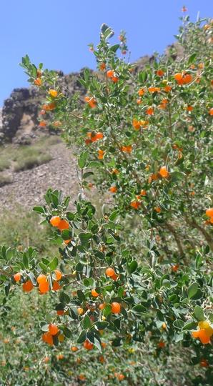 how to grow tirmeric in arid area