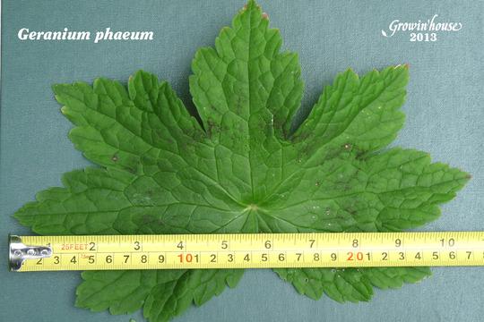 Pondering geranium leaves : Grows on You