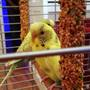 Green_yellow_budgies_21_12_2013