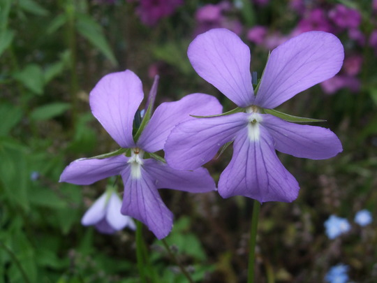 Little smiling faces grows on you for Viola cornuta