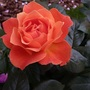 Warm_coloured_rose