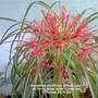 Scadoxas_multiflora_blood_lily_on_living_room_table_close_up_11_06_2014_002