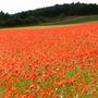 Poppy_field_.2