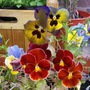 Pansy_140622_2_