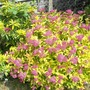Spirea_gold_flame_8_140613