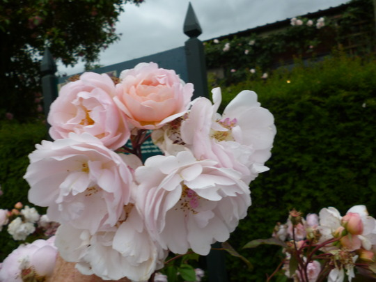 A Visit To David Austin Roses Grows On You