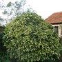 Aucuba_japonica_bush