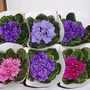 African_violets_1