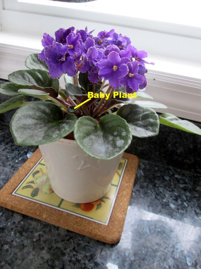 Success with African Violets : Grows on You