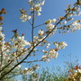 Blossom_april_2015_001