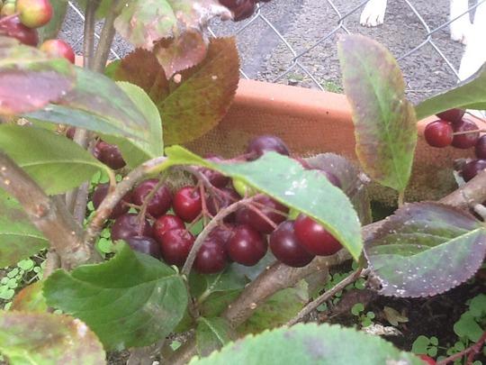 choke berry aronia prunefolia 39 viking 39 fruit spread jam. Black Bedroom Furniture Sets. Home Design Ideas