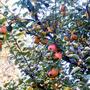 Apple_tree1