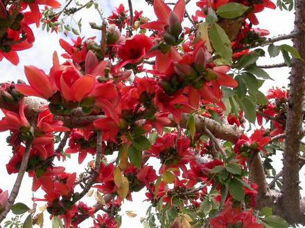 Two of my favourite native northern oz winter flowering for Tree with red flowers