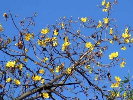 Our native Kapok loses all its leaves before flowering, which makes the flowering more obvious. The large golden yellow flowers have these beautiful ...