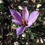 Crocus_sativus_8