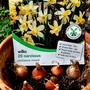 Miniature_daffs_tulips_just_planted_up_on_balcony_19th_october_2016_00_001
