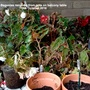 Begonias_removed_from_pots_on_balcony_table18th_october_2016