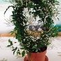 Jasmine_plant_just_bought_on_living_room_table_27th_march_2017