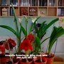 Amaryllis_flowering_on_living_room_table_29th_april_2017_001