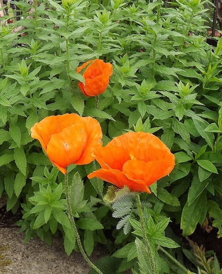 Flaming June ! : Grows on You