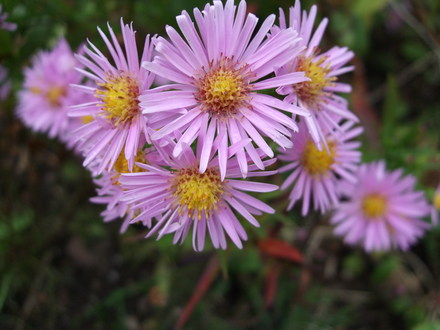 michaelmas daisies' or asters?  grows on you, Beautiful flower