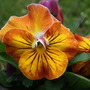1._gold_pansy