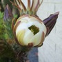 Be_cacti_flower_opening