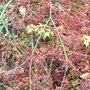 Acer_palmatum_dissectum_atropurpureum