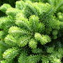 Abies_veitchii__heddergott__foliage_detail