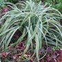 Carex_trifida__rekohu_sunrise_