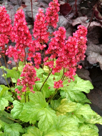 Heucheras Not Just A Colourful Leaf Grows On You
