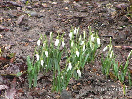 Where Are The Snowdrops Grows On You