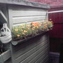 Mairigolds_on_shed