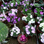 Primulas_in_the_glass_house__2010_029