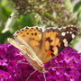 2006_0802_painted_lady_butterfly__2_