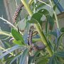 Monarch_caterpillars