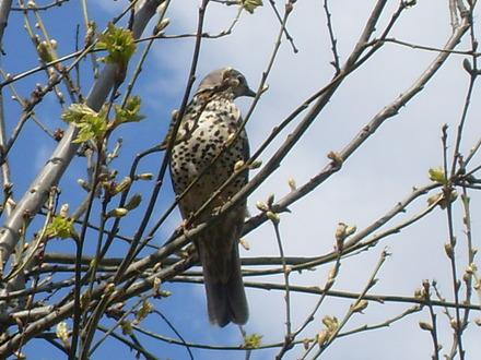 Baby sparrow hawk - photo#15