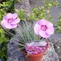 Free_plant_rhody_bluebells_001