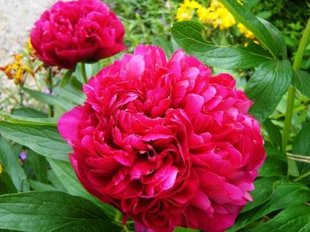 Aromaterapija - mirisne inspiracije 2._Add.P1030228_Peony.