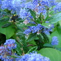 Ceanothus_003
